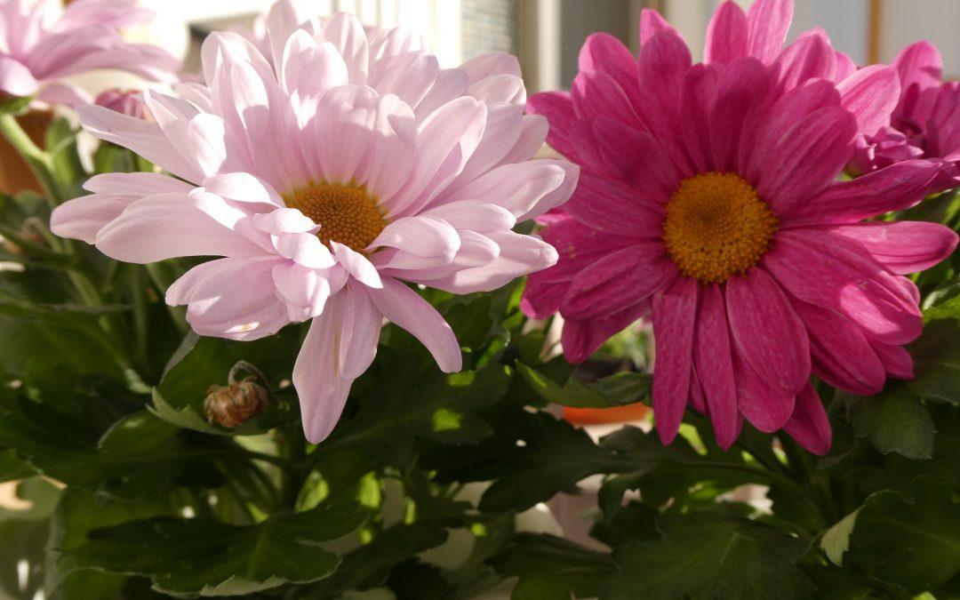 ¿Por qué se regalan flores en San Valentín?